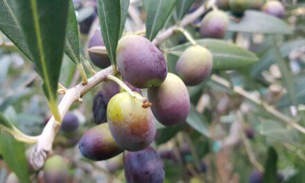 Rimedi naturali per allergie occhi: olio di oliva e acido Oleanolico