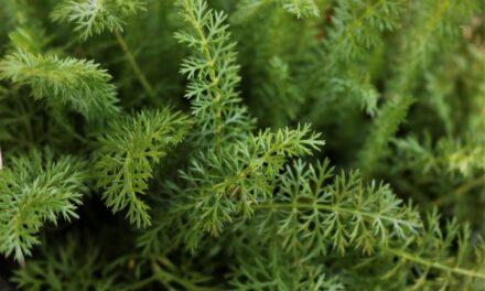 Artemisia e assenzio rimedi naturali per gli occhi